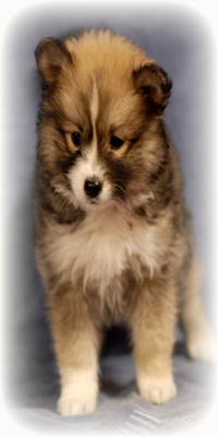 contact-us-pomsky-puppies-for-sale