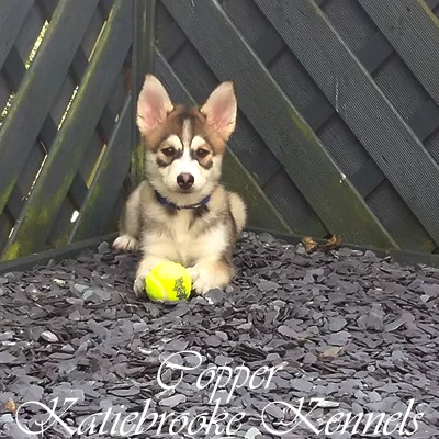 pomsky-puppy-copper-home