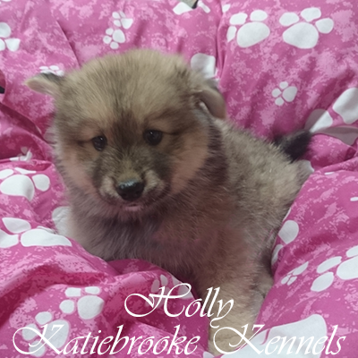 pomsky-puppy-holly-8-weeks-old
