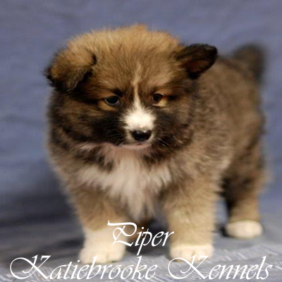 pomsky-puppy-piper-8-weeks-old
