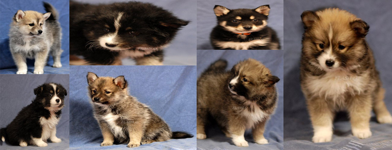 pomsky puppies for sale at katiebrooke kennels
