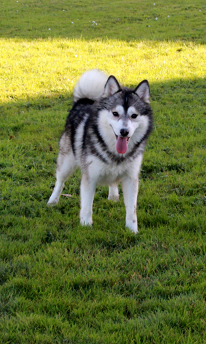 pomsky-puppies-dad-erimon