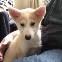 Gavin Adorable Pomsky Lia Scotland UK United Kingdom