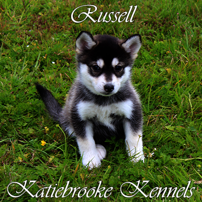 pomsky-puppy-russell