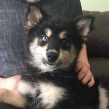 pomsky bentley