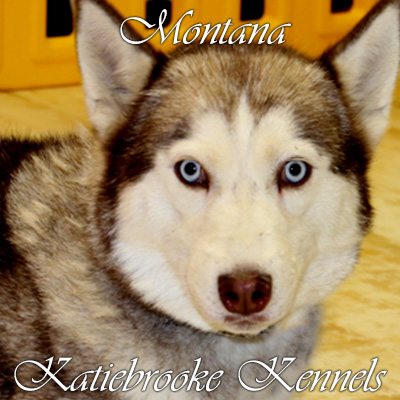 pomsky-puppy-mom-montana