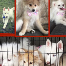 kerry-pomsky-puppies