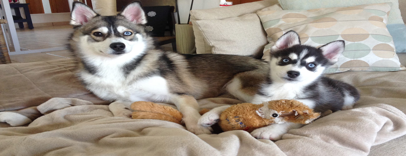grey-and-white-pomsky-for-sale