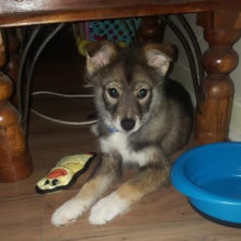 pomsky-archer-paul-homed