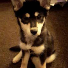 Danielle-and-William-Pomsky-Puppy-Naya-Glasgow-Scotland-Katiebrooke-Kennels-Testimonial