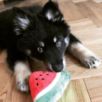 Pomsky Puppy Buddy
