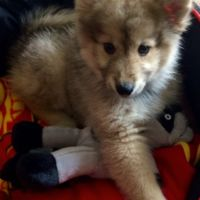 Pomsky Puppy Holly