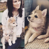 Pomsky-Puppy-Bella-12-Weeks-Old