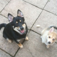 Pomsky Puppy Oreo and Skye