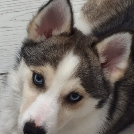 Pomsky Puppies For Sale UK (United Kingdom) Info – Katiebrooke